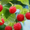 Raspberry 'Malling Promise'* (pack of 6 canes)